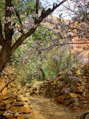morocco-amellago-blossoms