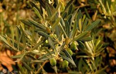 morocco-olive-tree